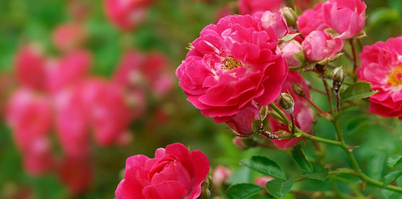 Rose_Blaze