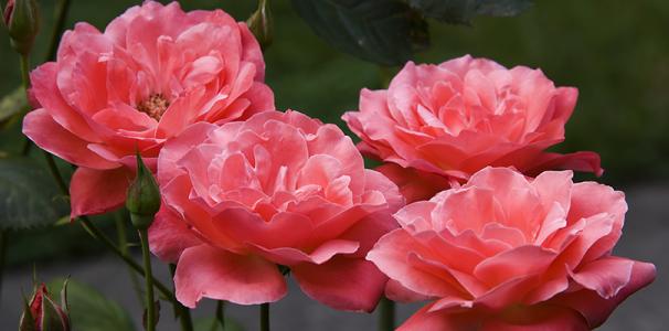 Rose_Coral_Dawn