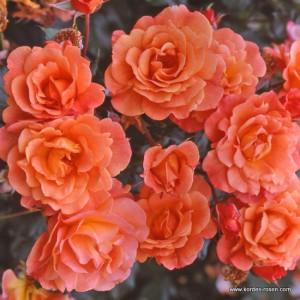 rose_orange_strauchrose_westerland_kordes_4