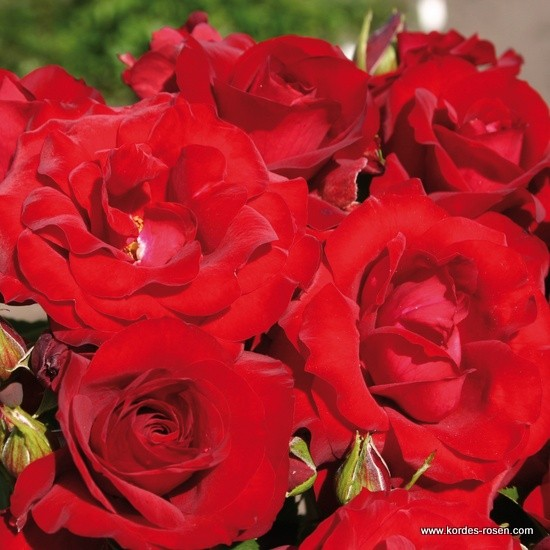 rose_rot_beetrose_roter-drache_kordes_00